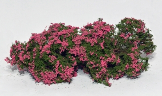Flowering shrubs – Pink