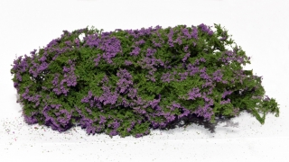 Flowering shrubs – Lilac